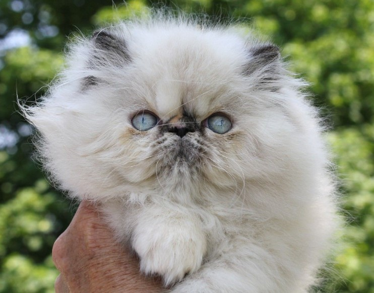 White Himalayan Cats for a Peculiar Billionaire
