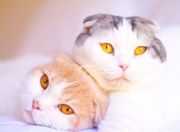 White Scottish Fold: A Friendly Companion With Folded Ears